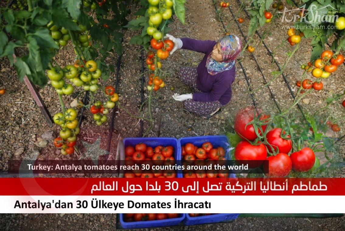 طماطم أنطاليا التركية تصل إلى 30 بلدا حول العالم
